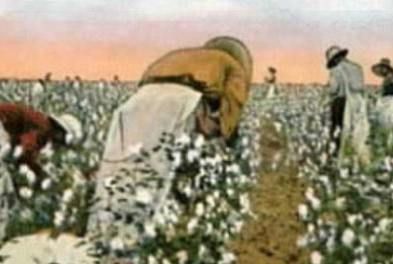 black slaves woking to pick cotton in a southern plantation
